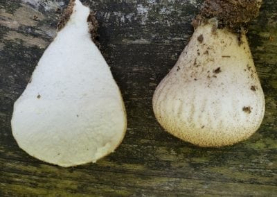 Sliced View of Gemcap Puffballs