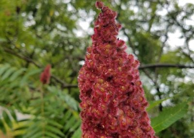 Staghorn Sumac Cone – Close up